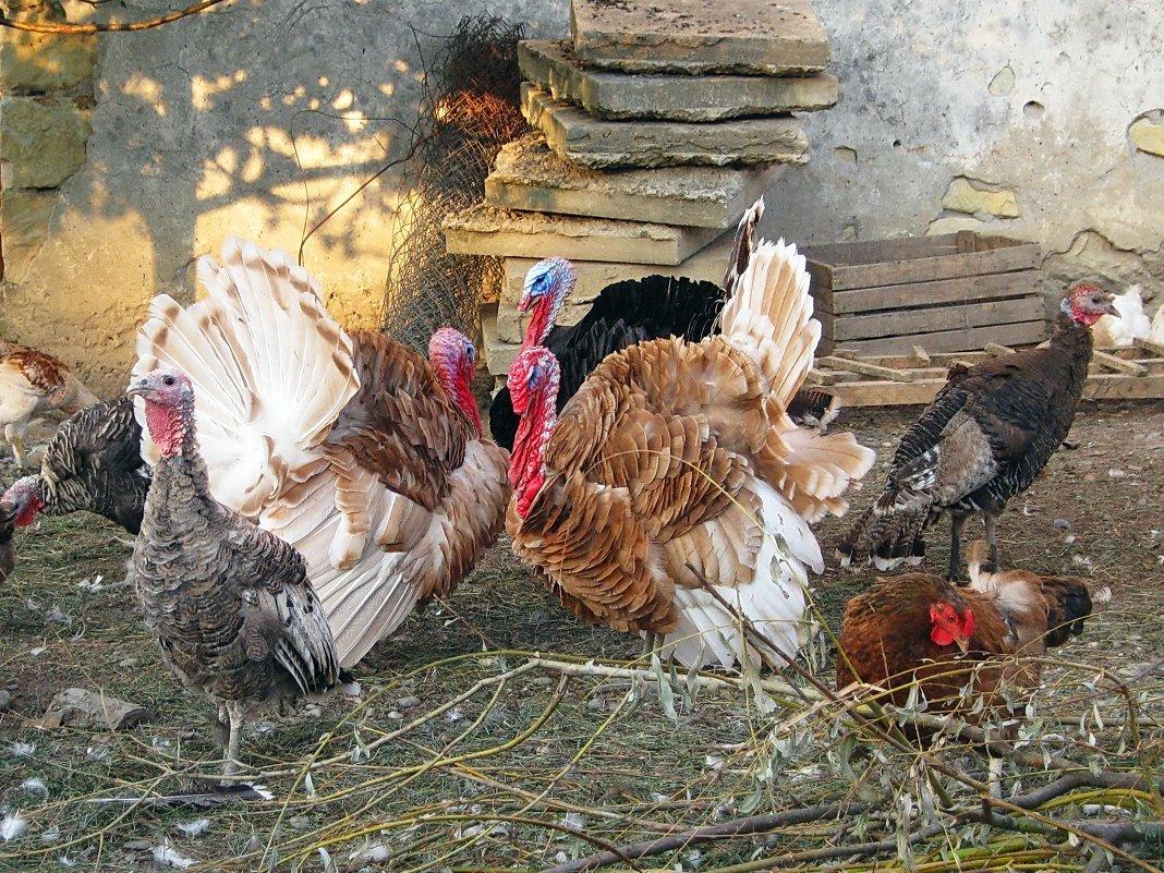 индюки на птичьем дворе