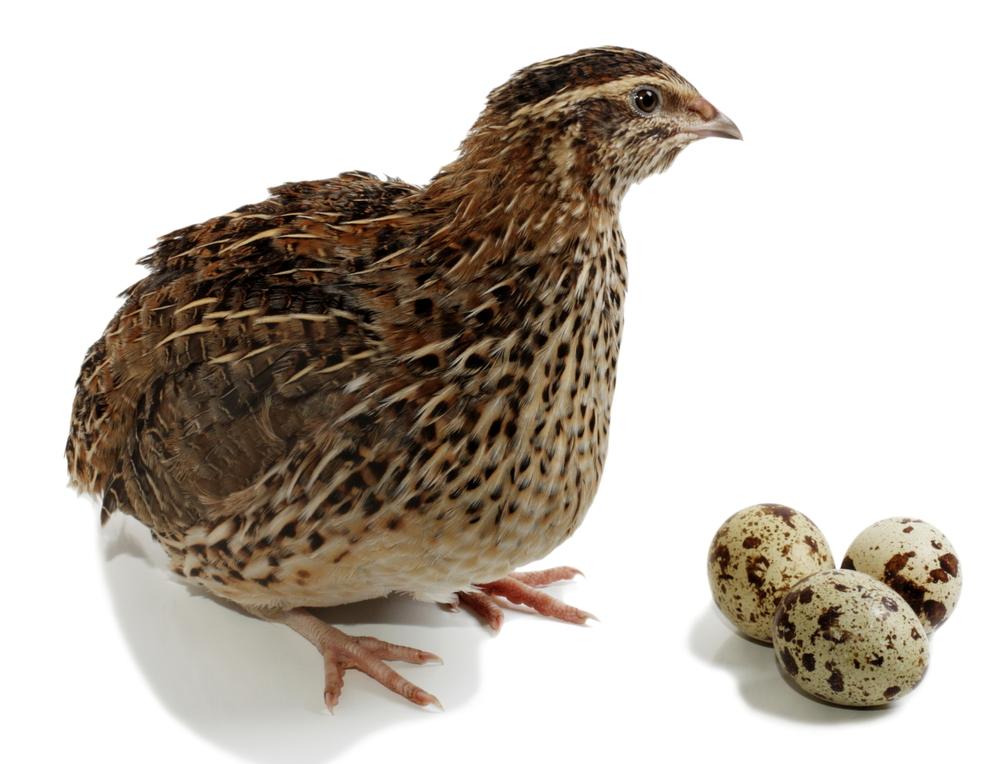 перепелка несет яйца