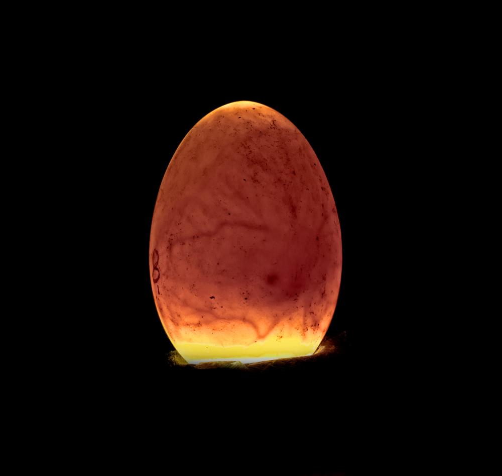 проверка яйца на зародыш