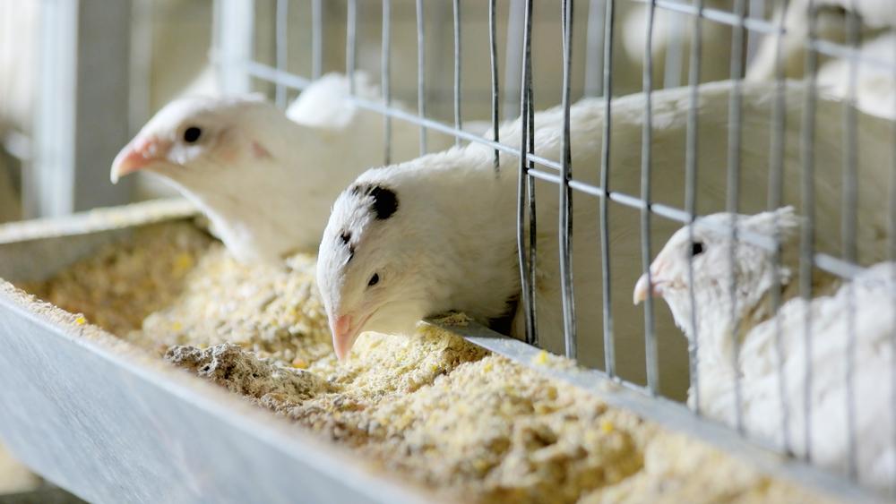 перепела едят в клетках корм