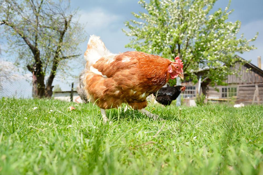курицы во дворе