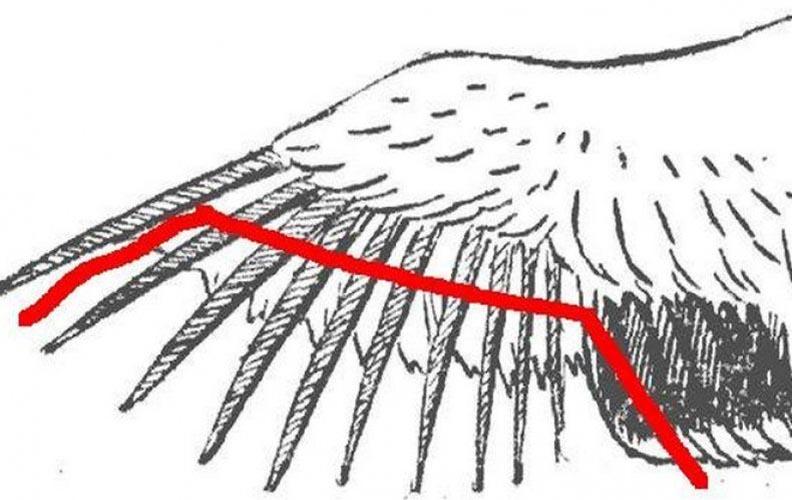 Схема обрезки крыльев индюкам