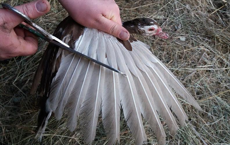 Подрезание крыльев индоутке