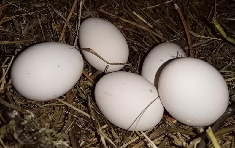 Яйца борковских кур