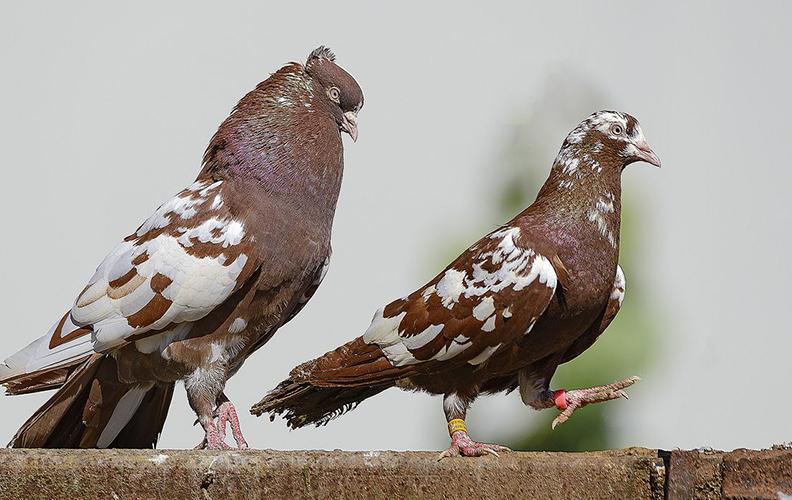 Бакинские голуби - описание