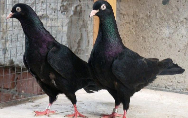 Бакинские голуби - разновидности