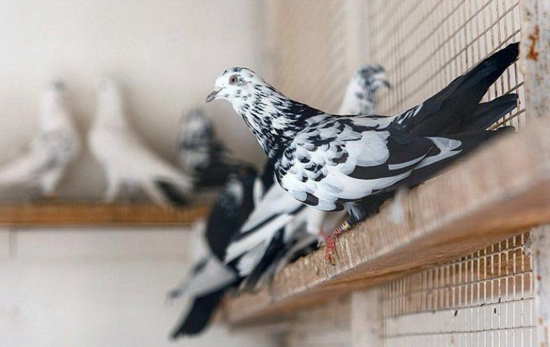 Содержание бакинских голубей