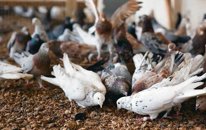 Кормление бакинских голубей