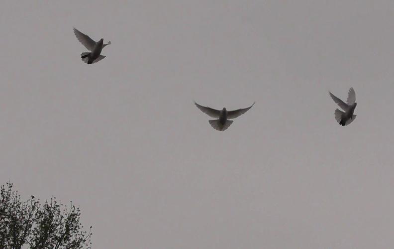 Полет бакинских голубей