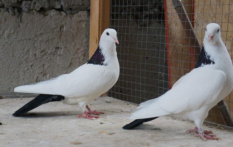 Характеристики бакинских голубей