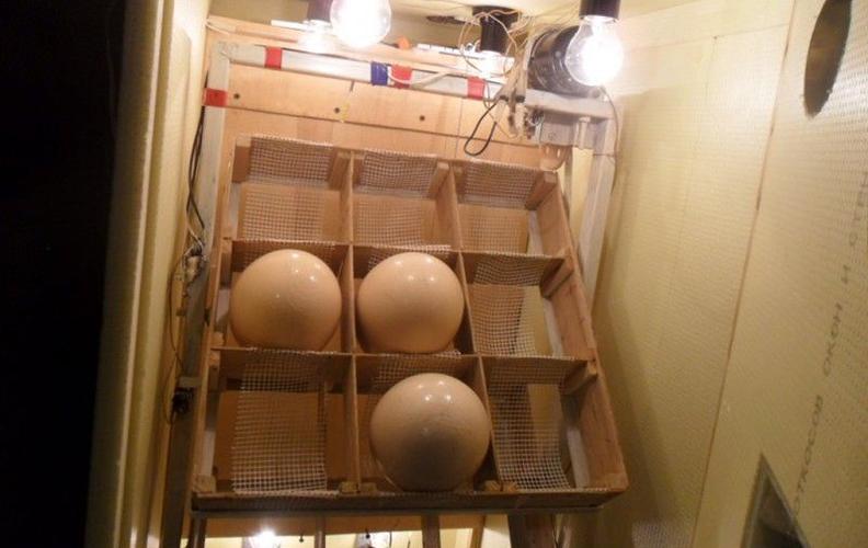Инкубатор для страусинных яиц своими руками