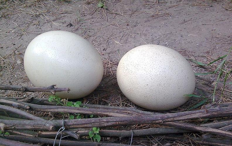 Страусинные яйца