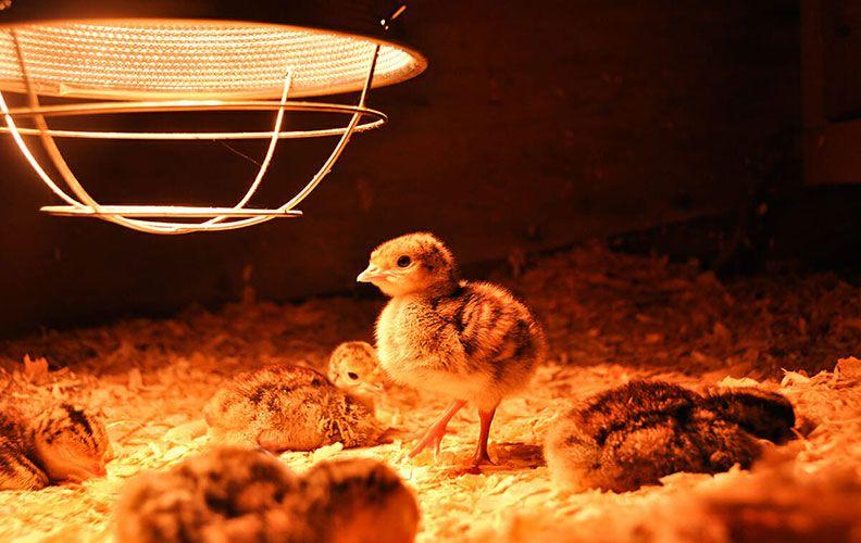 Инфракрасная лампа для птенцов