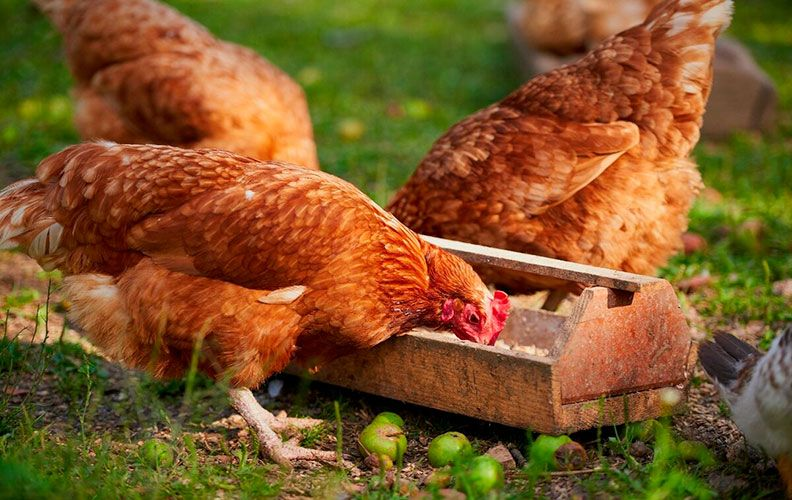 Еда для кур