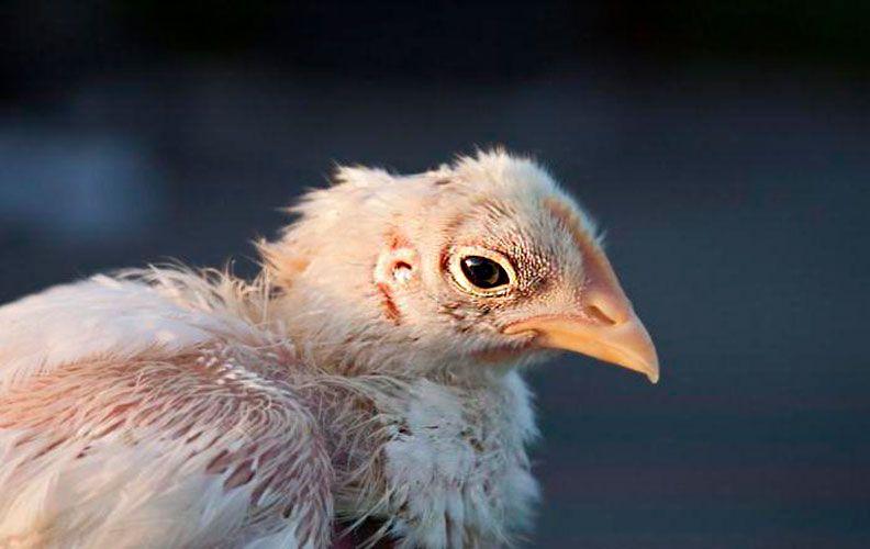 Цыпленок, поражённый пухопероедом