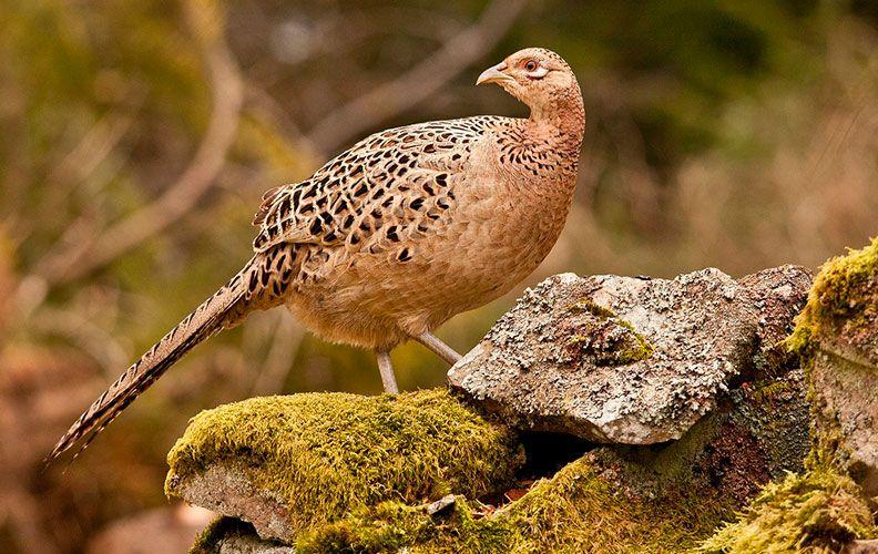 Самка фазана