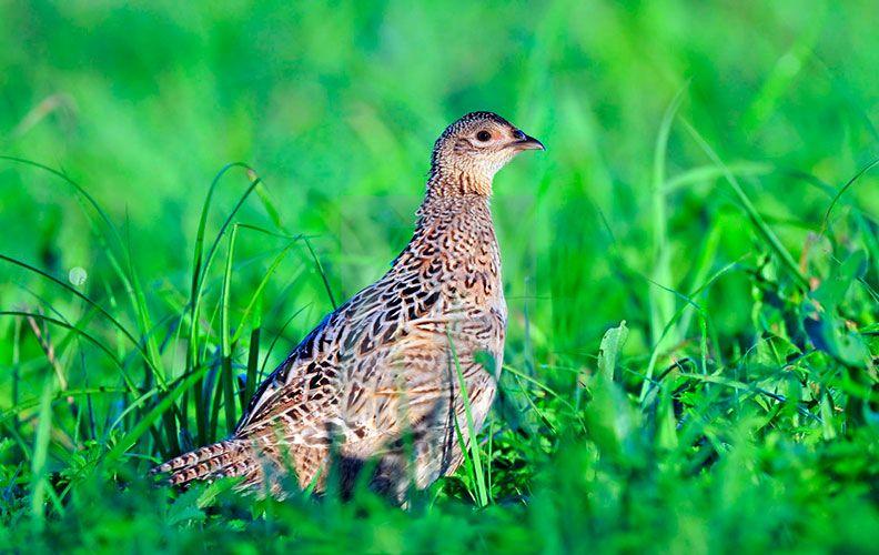 Самка фазана в траве