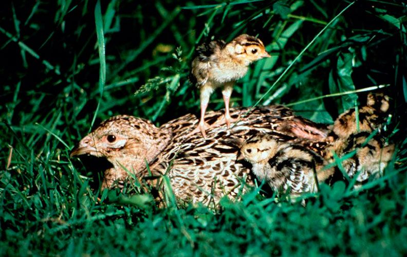 Самка фазана в гнезде