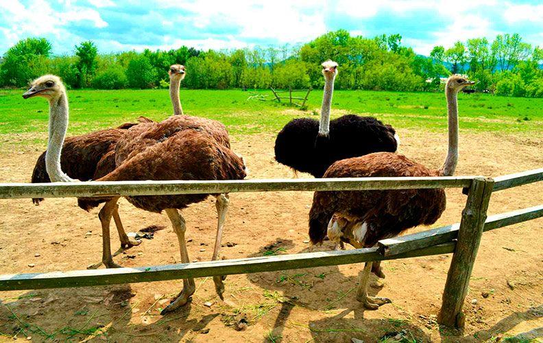 Сколько пальцев у страуса