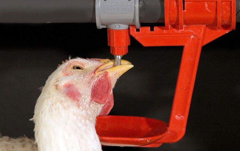 Курица пьёт отвар