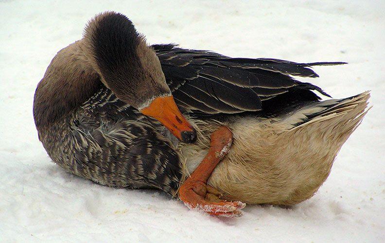 Больная нога у гуся