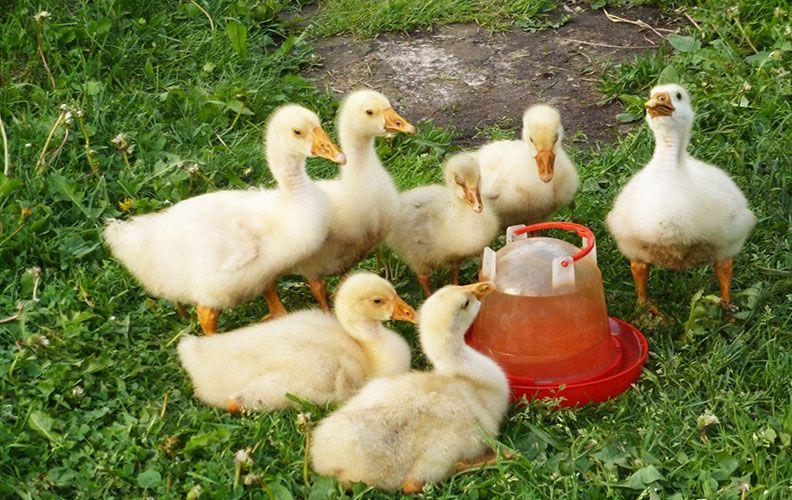 Гусята пьют воду