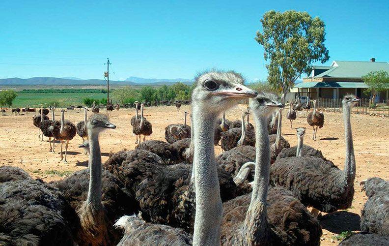 Как убить страуса