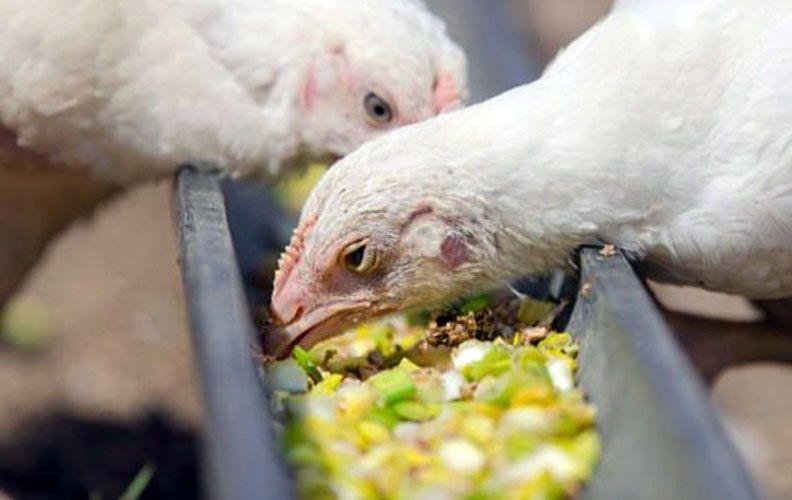 Питание для цыплят