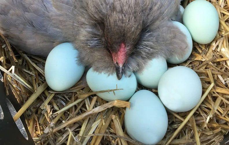 Куры, несущие зеленые яйца