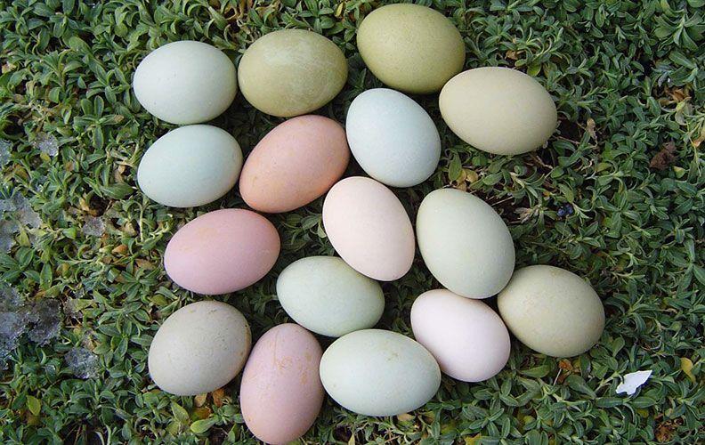 Возможные оттенки зеленых яиц