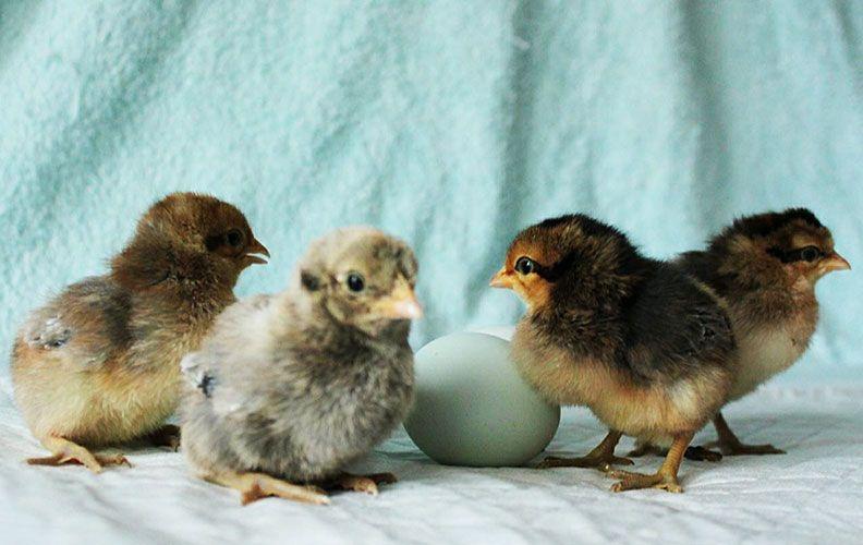 Цыплята кур, несущих зеленые яйца