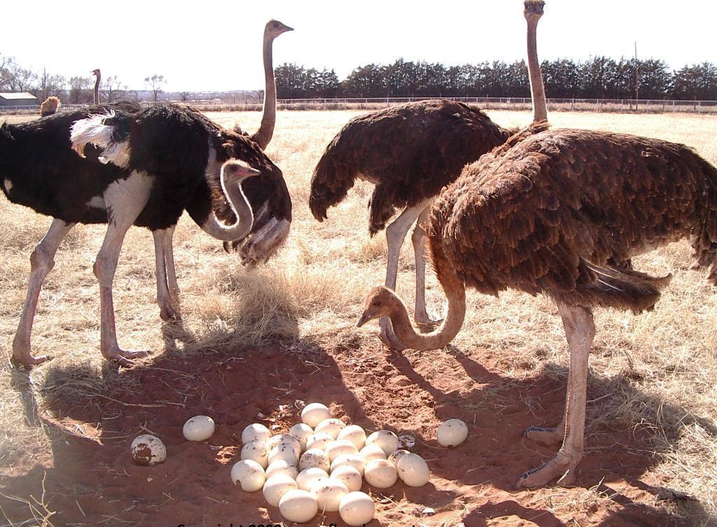 Яйца африканского страуса