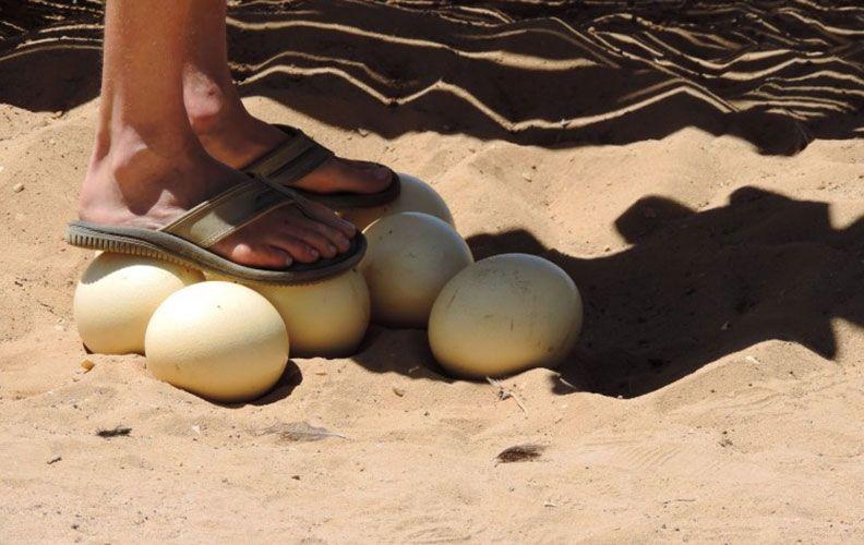 Прочность скорлупы яйца страуса