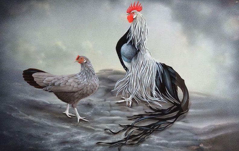 Курица и петух породы феникс