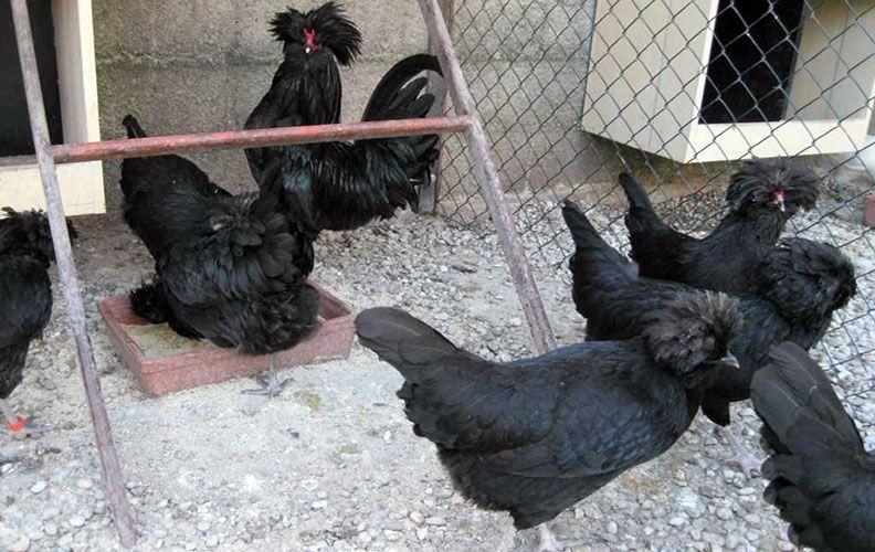 Черные куры падуан