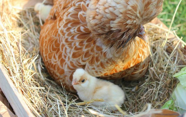 Курица падуан и цыпленок