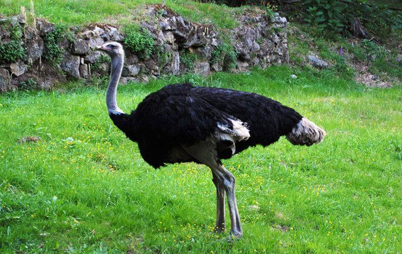 Сомалийский страус