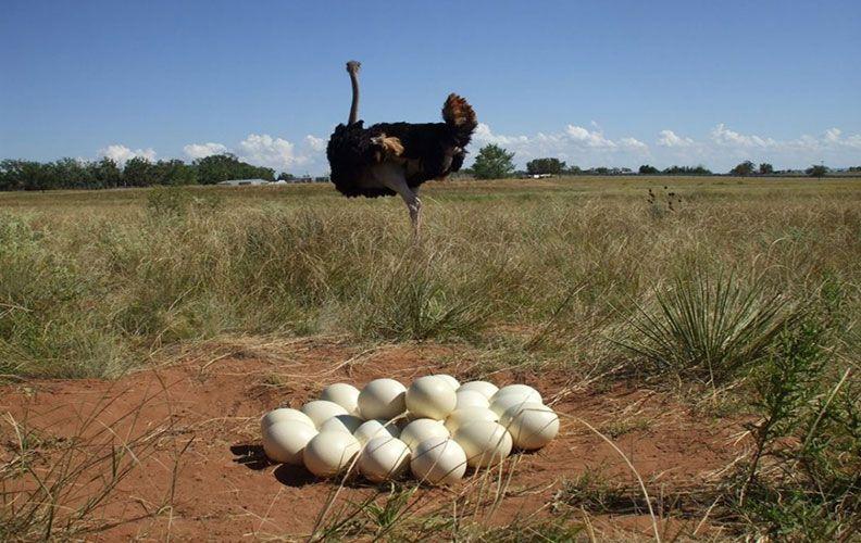 Сколько яиц приносит страус