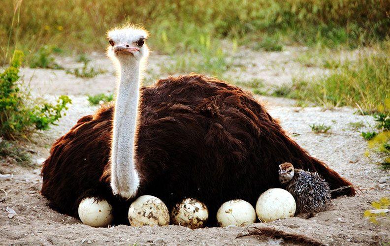страус в гнезде