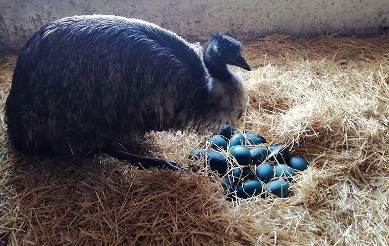 Эму и яйца