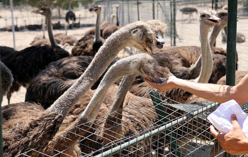 страусиные фермы