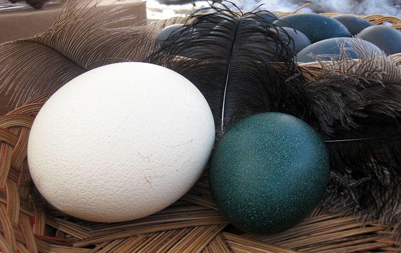 Страусиные перья и яйца