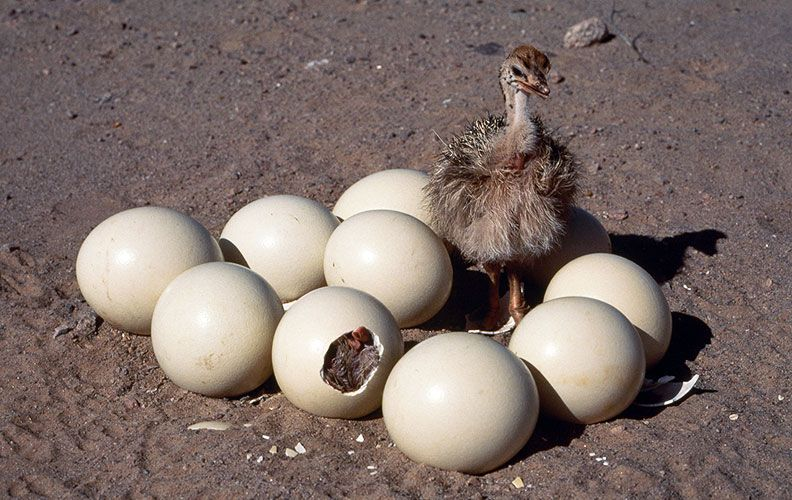 Яйца и птенцы страусов
