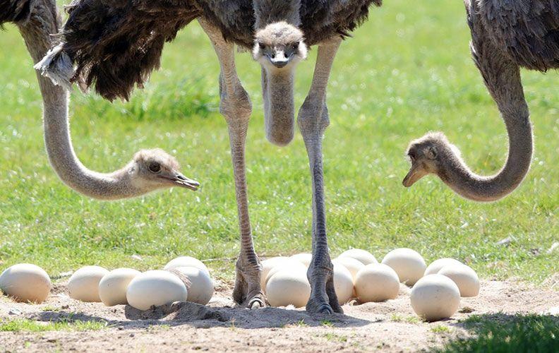 Африканский страус и яйца