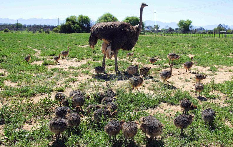 Страус и страусята