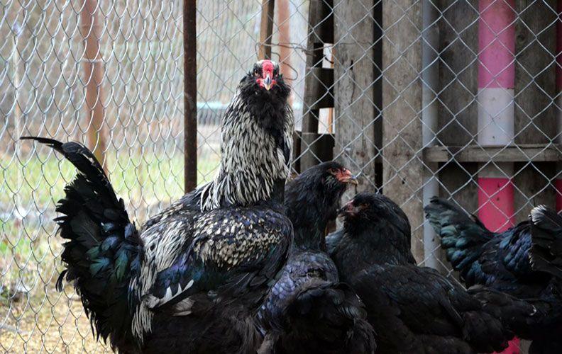 Гергебильская порода кур