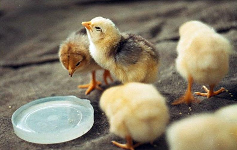 Цыплята пьют