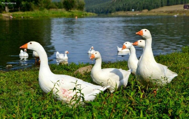 Гуси легарт на озере