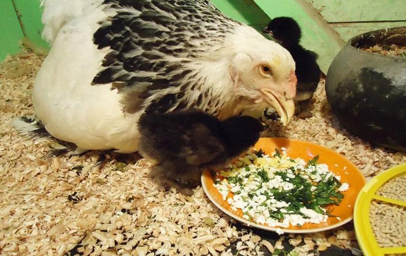 Курица ест творог