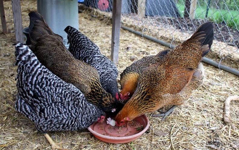 Куры едят